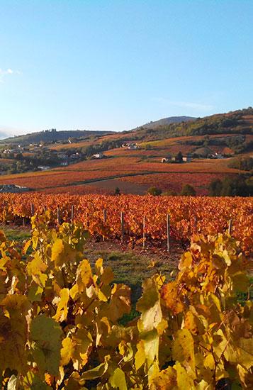 Crus du Beaujolais, vignobles, dégustation.